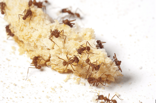 How does these mini Termites and Ants cause damages to your property?